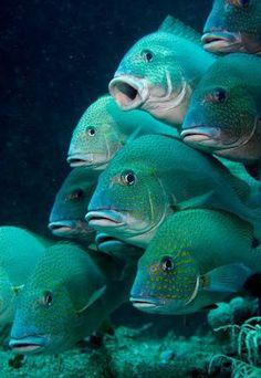 Turquoise fish