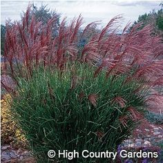 Miscanthus sinensis 'Gracillimus' - Maiden Hair Grass - a bold and beautiful Xeriscape plant with year-round interest, about 5-6' tall and 3' wide
