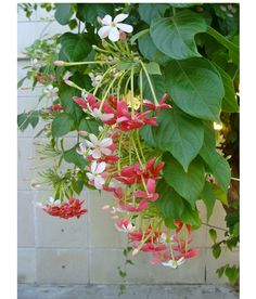 Rangoon creeper, a fragrant flowering vine, is a fast-growing tropical vine that can reach a height of more than 30 feet. Hardy in Zones 8-11.