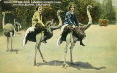 bareback ostrich ridin'!