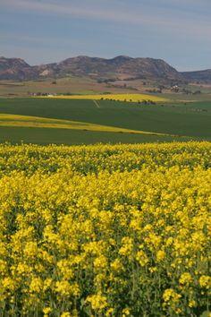 Canola - Swartland Canola Field, Homeland, South Africa, Fields, Golf Courses, African, Mountains, Landscape, Nature