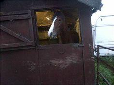 Alfie - Aflie Welsh Section D for Sale (Stallion) http://www.equineclassifieds.co.uk/Horse/aflie-welsh-section-d-for-sale-stallion-listing-301.aspx#.UnOkflOAUfQ