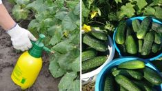 Záhradkári, semienka uhoriek nakŕmte týmto zázrakom a úrodu zberáte celé leto: Už ani Euro na hnojivo z obchodu, toto nemá konkurenciu! Celery, Pickles, Cucumber, Zucchini, Vegetables, Food, Euro, Essen, Vegetable Recipes