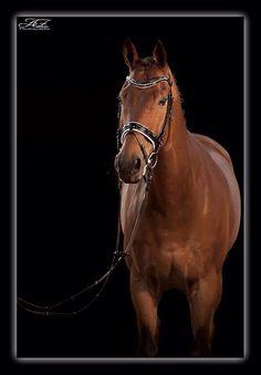 Horse paard kwpn