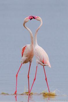 "beauty-belleza-beaute-schoenheit: "" Stunning Greater Flamingos """