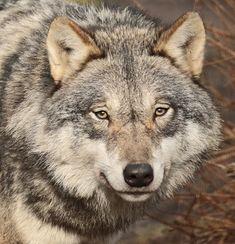 "johnnyslittleanimalblog: "" european wolf Hoenderdaell BB2A4173 by safi kok """