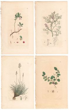 Sowerby set of 4 antique hand-colored engravings w/text pages, English Botany