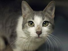 TO BE DESTROYED 8/7/14 ** HANDSOME BOY WITH BEAUTIFUL EYES!! Miles was found as a stray and at the time of the assessment he interacted with the Assessor, solicits attention, is easy to handle and tolerates all petting. ** Brooklyn Center  My name is MILES. My Animal ID # is A1007525. I am a male white and gray tabby domestic sh. The shelter thinks I am about 5 YEARS old.  I came in as a STRAY on 07/21/2014 from NY 10306, OWN EVICT. Group/Litter #K14-186810.