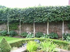 Ivy Clad: Privacy by Pleaching--An undesirable view is blocked from this suburban backyard with a row of pleached trees. Beneath the hedge, which is shaded due to the wall that backs it up, hostas and other shade-lovers grow.