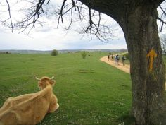 Walking with the cows when I go on my pilgrimage on El Camino de Santiago (the way of St. James).