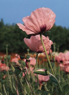 Our Favorite Poppy Flower Seed Page-2466 Carneum Poppy (Papaver orientalis)