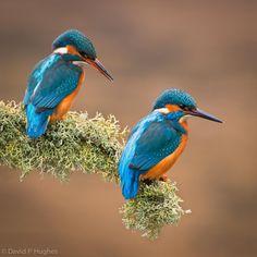 Common Kingfishers by David Hughes, via 500px