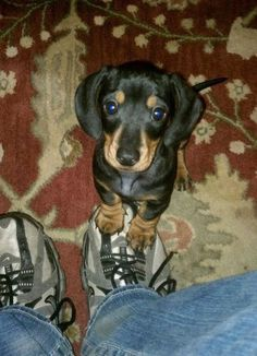 "How can you say ""no"" to that face?  #doxie #cute #dachshund"