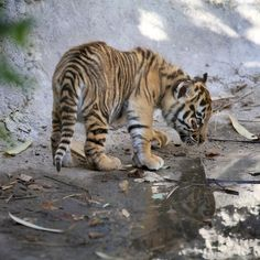Great news from Chester Zoo today - THREE Sumatran Tiger cubs born! I've not…