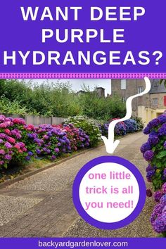 If you wish for deep purple hydrangea flowers, you'll love this quick guide to changing hydrangea colors. It's a simple addition to your soil that will transform your pink or blue hydrangeas into the most beautiful purple or lavender color. Hydrangea Color Change, Hydrangea Colors, Hydrangea Care, Hydrangea Flower, Purple Hydrangeas, Purple Plants, Garden Yard Ideas, Easy Garden, Garden Paths