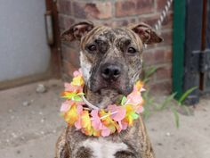 ~PRETTY 2 YR  OLD BRINDLE GIRL TO BE DESTROYED 8/1/14~ Brooklyn Center -P  My name is MAMASITA. My Animal ID # is A1007550. I am a female br brindle and white pit bull mix. The shelter thinks I am about 2 YEARS   I came in the shelter as a STRAY on 07/21/2014 from NY 10302, owner surrender reason stated was STRAY.
