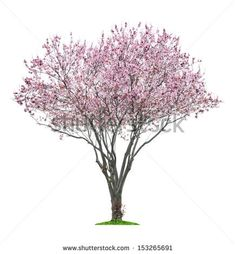 Find Blossoming Pink Sacura Tree Isolated On stock images in HD and millions of other royalty-free stock photos, illustrations and vectors in the Shutterstock collection. Landscape Elements, Landscape Materials, Tree Plan Png, Tree Psd, Tree Photoshop, Tree Wallpaper Iphone, Pink Trees, Tree Roots, Watercolor Trees