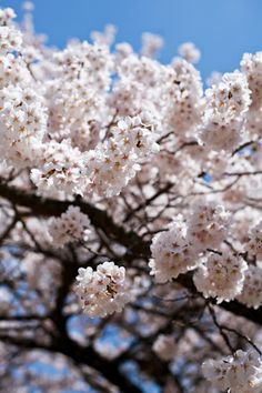 cherry blossoms  #flower #Photography #nature