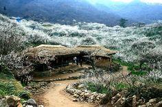 Plum-vbillage in Gwangyang, Korea  광양 매화마을