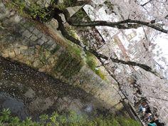 疎水に散る桜。雨や強い風が吹くと直ぐに散ってしまう儚さが桜にはあります。http://kyotonote.com/ginkakuji/