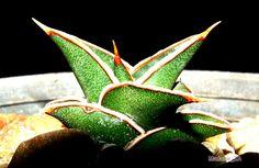 206 Best Sansivieria ล นม งกร Images Pot Plants Cactus Plants