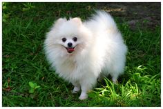 Pomeranian Cute Little Animals Dogs Baby Top Dog Breeds