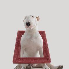 would you hang this frame on your wall? voce penduraria esta moldura na sua parede? Black Bull Terrier, English Bull Terriers, Bow Wow, Bullies, Shiba Inu, Black Cats, Polar Bear, Poodle, Jimmy Choo