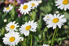 #Herbs  Chamomile  It is one of the world's most widely consumed herbal teas.  But it has also been used for thousands of years as a traditional medicine for settling stomachs and calming the nerves.   #Gardening #Health #Plants