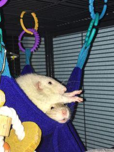 'Scuse #aww #cute #rat #cuterats #ratsofpinterest #cuddle #fluffy #animals #pets #bestfriend #ittssofluffy #boopthesnoot