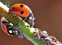 """азнообразны и дешевы, но действуют недолго – они могут лишь на время победить насекомых. С невысоких кустарников (смородина) можно тлю смыть в кастрюльке с раствором воды и жидкого мыла (типа """"Фейри"""") – подобная эмульсия покроет листья тонкой пленкой, и оставшимся насекомым будет сложно высасывать сок. Но если колония прочно обосновалась на растениях, настоями чеснока и чистотела, припудриваниями золой ее не извести – придется прибегнуть к помощи инсектицидов. Химические препараты могут быть…"""