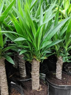 Learn all about how to care for a yucca plant, including tips for indoor and outdoor yucca care, as well as how to propagate this beautiful plant! Yucca Plant Indoor, Yucca Plant Care, Snake Plant Care, Indoor Plants, Indoor Gardening, Organic Gardening, Corn Plant, Pothos Plant, Flowers