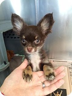 NY, this little guy is TOO CUTE FOR WORDS!!!  COME & ADOPT ME!  Chihuahua puppy, Pierre for adoption at the Humane Society of New York