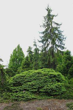Picea abies Repens