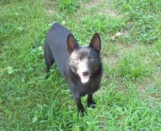 Petfinder  Adoptable | Dog | Schipperke | Selmer, TN | Lillian