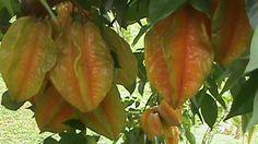 Starfruit Carambola