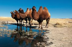 All Animals Pictures, Animals And Pets, Mongolia, Bactrian Camel, Nature Photography, Scenic Photography, Night Photography, Photography Tips, Landscape Photography