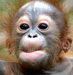 Monkey world, baby orangutan, cute monkey, cute animal photos, lovely Baby Animals Super Cute, Cute Little Animals, Cute Funny Animals, Cute Animal Photos, Funny Animal Pictures, Primates, Laughing Animals, Baby Orangutan, Cute Monkey