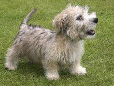 Ír Border Terrier  Nornok Fajta: áttekintést ad a főbb jellemzőit és a kutyák