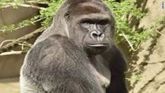 The death of Harambe, the Cincinnati Zoo gorilla, places a spotlight on zoo safety and a parent's responsibility. Here are five ways to keep your child safe.  ||  Common sense ideas that are anything but commonly followed. They should be.