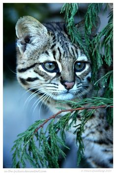 Geoffroys Cat in The Trees by In-the-picture.deviantart.com on @deviantART