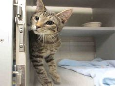 Weee! Being a kitten is so much fun! But, having a home of my very own to play in would make it a blast! My name is Niles. I am a neutered male, brown tabby Domestic Shorthair and I am about 16 weeks old. (ID#A075926)