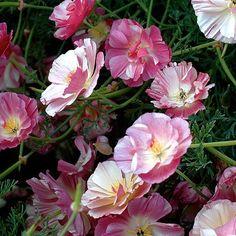 California Poppy 'Apple-blossom'