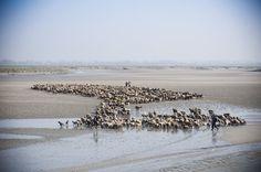 Transhumance bovins des prés-salés en Baie de Somme   © Xavier Remongin / Min.agri.fr