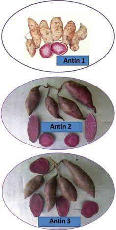 Ubijalar Antin 1, Antin 2, dan Antin 3