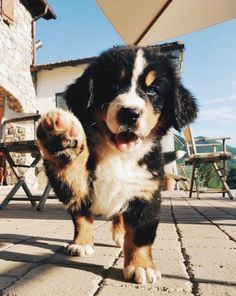 welcome to my puppies' fan page ; Cute Funny Animals, Cute Baby Animals, Animals And Pets, Cute Dogs And Puppies, I Love Dogs, Doggies, Adorable Puppies, Mountain Dogs, Bernese Mountain