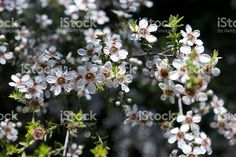 The Manuka flower in bloom on a Tea Tree in soft focus. Manuka Oil, Tree Images, Photo Tree, Medicinal Plants, Tea Tree Oil, Native Plants, Colour Images, New Zealand, Scarves