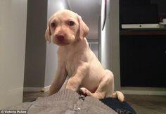 Girl, 4, begs for return of adorable Labrador in Croydon Hills