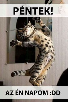 Bengal Cat is an elegant feline that loves, friendly and highly energetic. The Bengal has the golden glittering pattern, which no other cat breed displays. Silly Cats, Crazy Cats, Cats And Kittens, Animals And Pets, Funny Animals, Cute Animals, Cute Cat Gif, Cute Cats, Funny Cat Memes