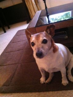 She is a 13 year old jack Russell !