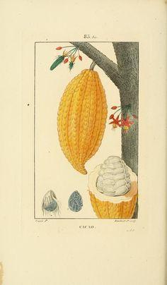 Cacao. Flore médicale v.2 Paris :Imprimerie de C.L.F. Panckoucke,1828-1832. Biodiversitylibrary. Biodivlibrary. BHL. Biodiversity Heritage Library